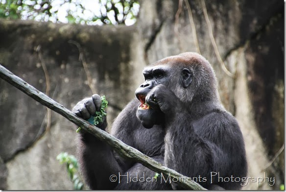 Gorilla Snack