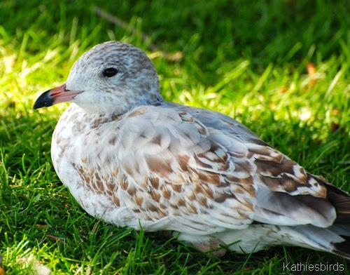 13. unknown gull-kab