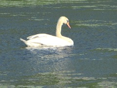 bog swan swimming in lily pads3