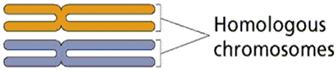 Homologous chrmosomes