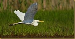 bnsbl   Great Egret flight_ROT4357   NIKON D3S June 04, 2011