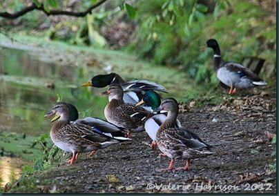 34-ducks