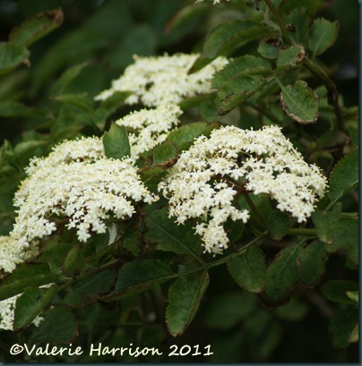 17-elderflowers