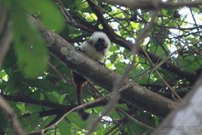 IMG_3710 mico titi saguinus oedipus