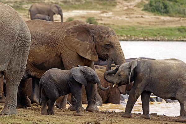 Elephants drink water at a dam inside the Addo Elephant National Park near Port Elizabeth, South Africa, December 2012. Demand from Asia for quality ivory of rain forest pachyderm has spiked in African rainforest zones. In Gabon, two-thirds of elephants, or 11,000 have been wiped out in one national park since 2004. Photo: Schalk van Zuydam / AP