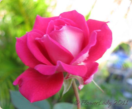 11-20-love-rose2