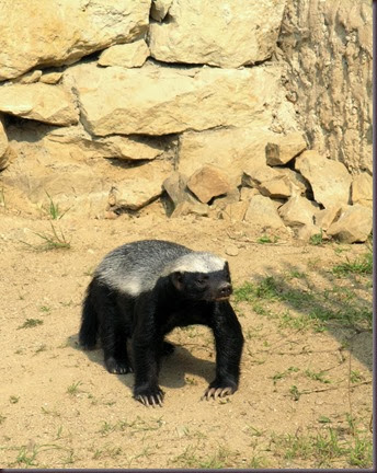 Amazing Animals Pictures  honey badger (Mellivora capensis) (7)