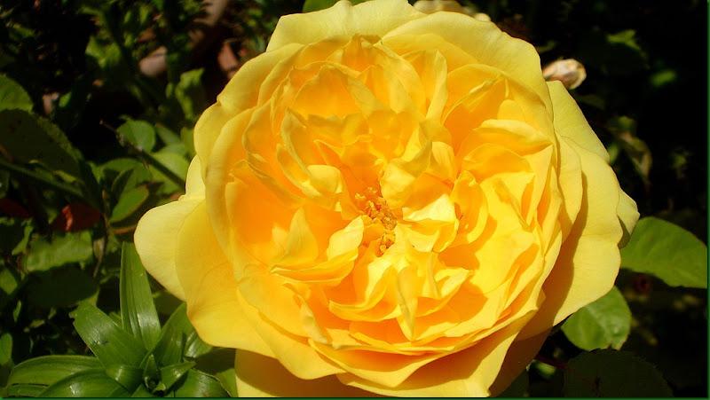humedad,rosas 036