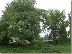 Stately walnut trees