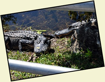 14c - At the tower - Gators right next to railings