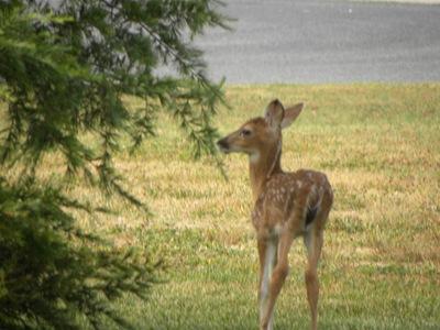 deer 016