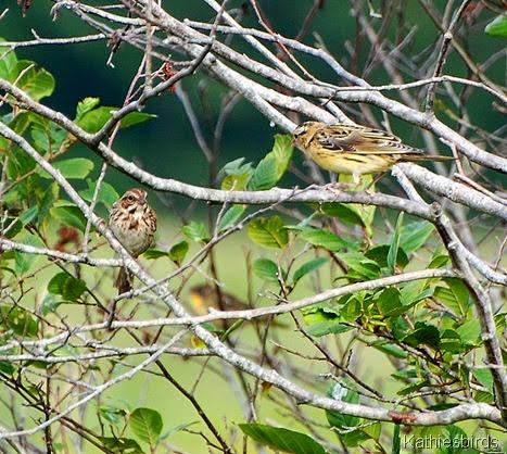 14. boblink n sparrow-kab