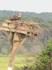 Wellfleet 8.18.2012 osprey on nest