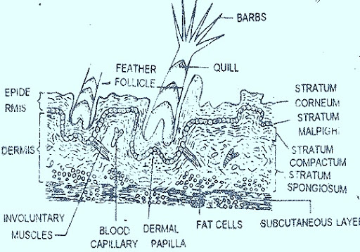 bird skin section39?imgmax=800 integument in reptiles birds and mammals a comparision biozoom