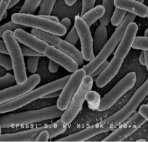 Bakteri yang menguntungkan