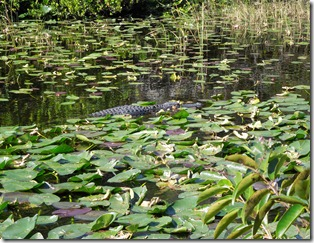 Lily Pad and Gators