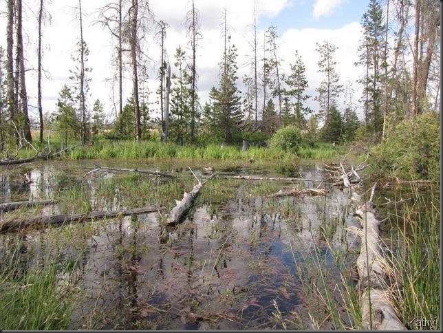 Mallard in the pond