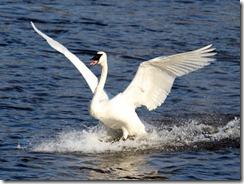 MN11 trumpeter swan 115_7530
