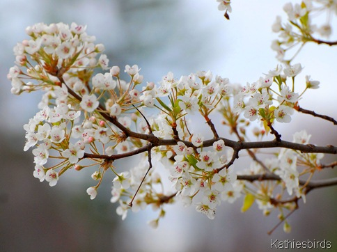 3. pear tree blossoms-kab