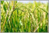 Fazenda na antiga área restrita de Fukushima começa a plantar arroz