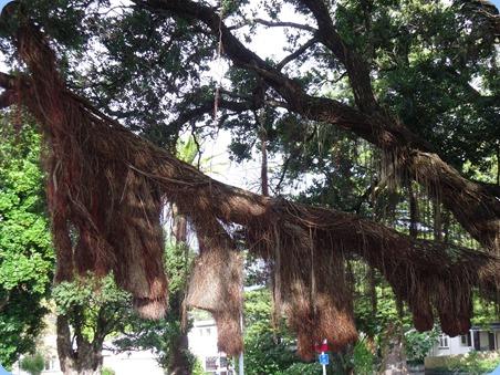 A landmark tree in Raglan Town Centre