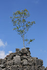 There was an actuall tree growing from the top of the wall of the church