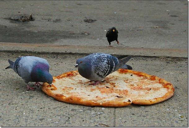 silly-pigeons-birds-10