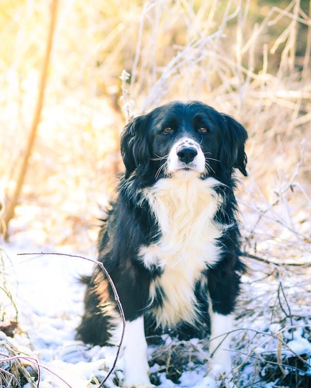 snowdog-3466