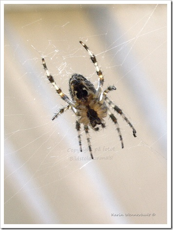 SpindelninätetSGN