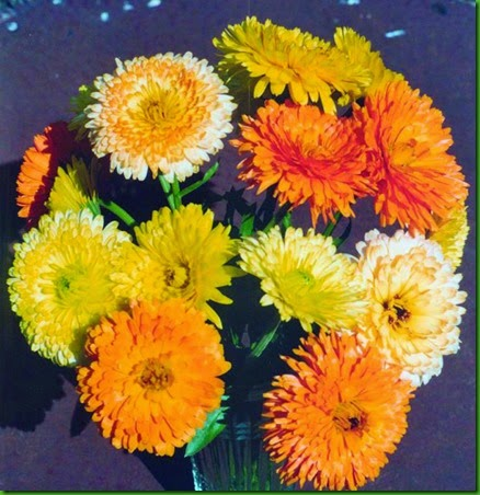 Calendula_pacific-beauty