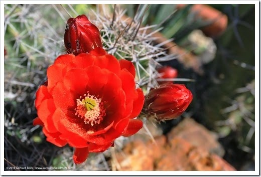 150414_Echinocereus-triglochidiatus_004