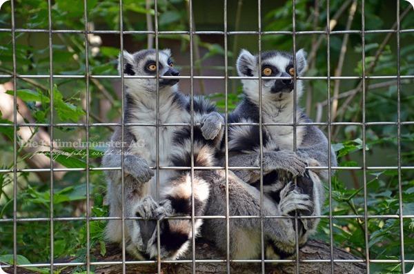 Zoo Frankfurt Kattas 150813 (3)