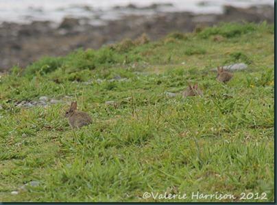 4-bunnies