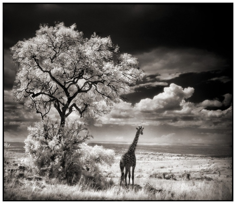28 Giraffe Looking Over Plains