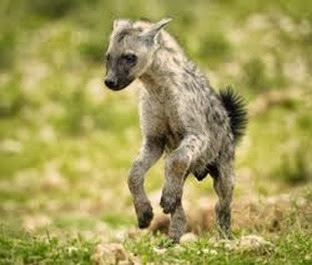 Amazing Pictures of Animals, Photo, Nature, Incredibel, Funny, Zoo, Hyena, Mammals, Alex (1)