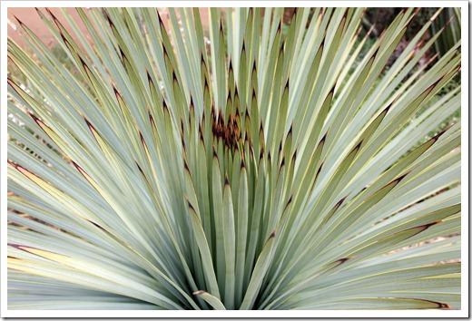 120728_ArizonaSonoraDesertMuseum_Yucca-whipplei_10