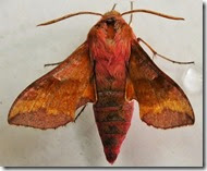Small elephant hawkmoth Anglesey June 2014