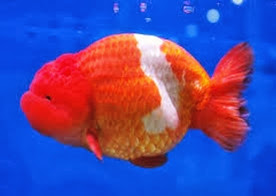 Amazing Pictures of Animals, Photo, Nature, Incredibel, Funny, Zoo, Ranchu, Goldfish, Alex (3)