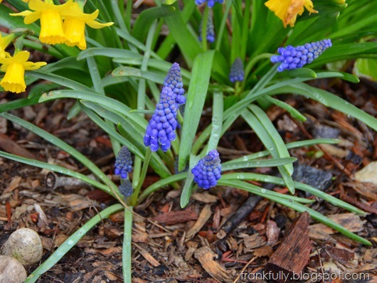 daffodils and grape hyacinth
