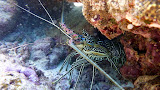 A Spiny Lobster Hiding Under Some Coral - Noumea, New Caledonia
