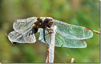 common darter female Sept 2014 (1)