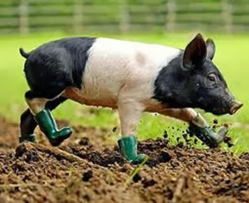 Amazing Pictures of Animals, Photo, Nature, Incredibel, Funny, Zoo, British Saddleback, Pig, Sus scrofa domesticus, Mammals, Alex (8)