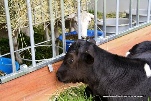 koeien kijken boer martij 18-06-2011 (12).JPG