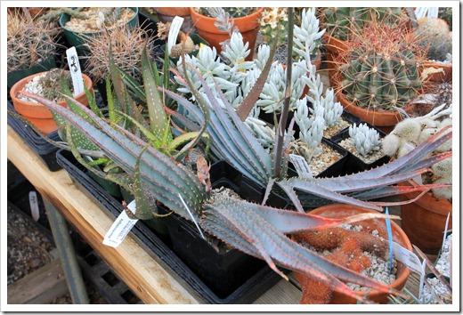 130202_UCDavis_Aloe-suprafoliata_06