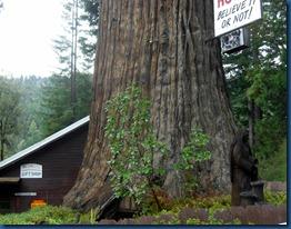 Redwoods (1)