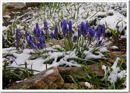 grape hyacinths in snow