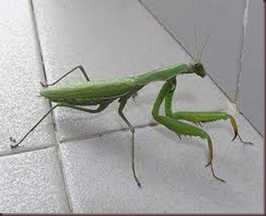 Amazing Pictures of Animals photo Nature exotic funny incredibel Zoo Mantis Arthropodo Insect. Alex (2)
