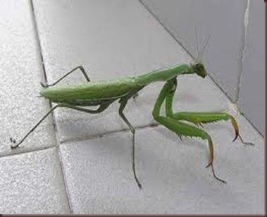 Amazing Pictures of Animals photo Nature exotic funny incredibel Zoo Mantis Arthropodo Insect. Alex (2)
