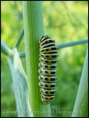 Bruco di Papilio machaon (Farfalla macaone) (4)