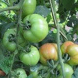 Grote tomaten